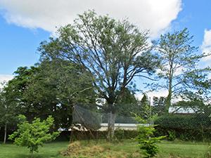 Ash tree showing signs of Ash Dieback