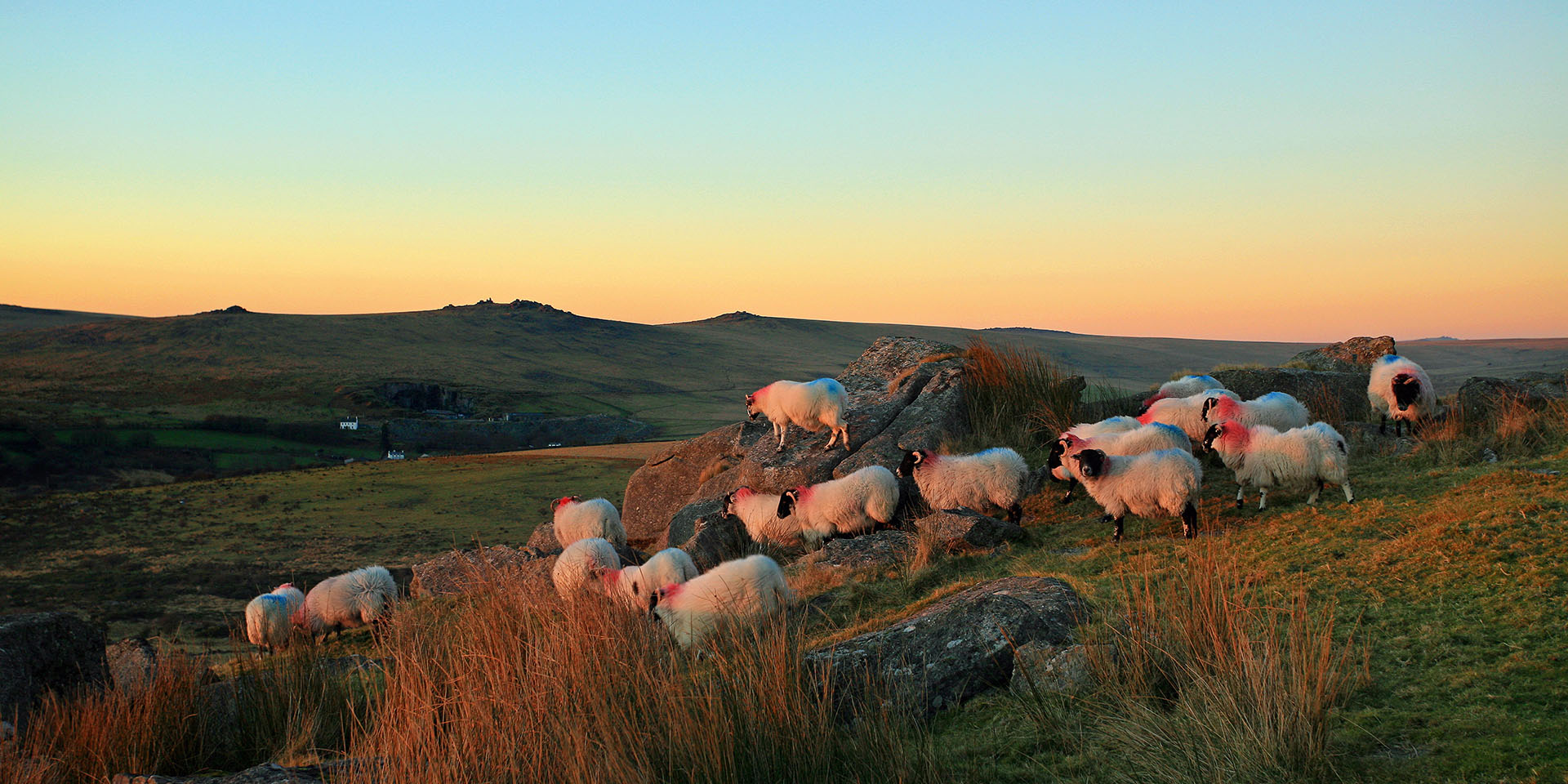 Flock of sheep at sunset on Kings Tor by Adrian Oakes