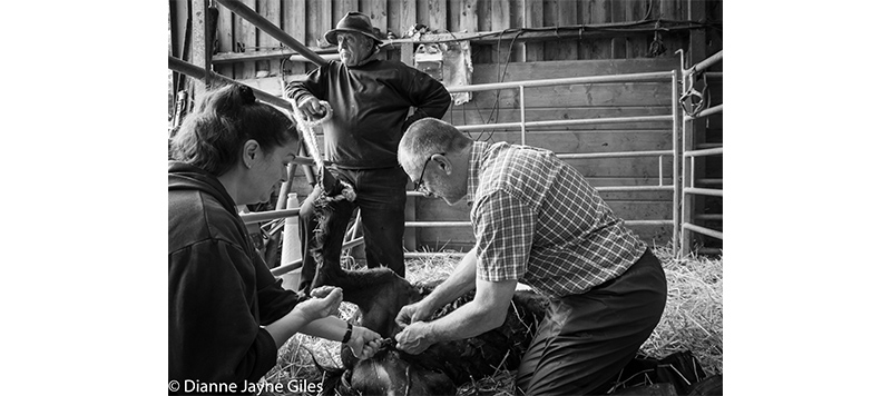 Three farmers carrying out castration on a sheep