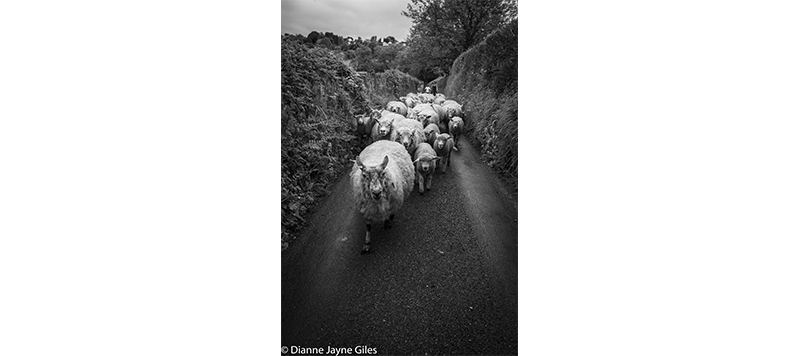Sheep moving along narrow lane