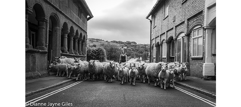 Moving sheep through a village street