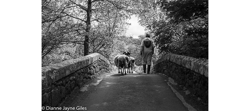 Beekeeper walking with a sheep over a bridge
