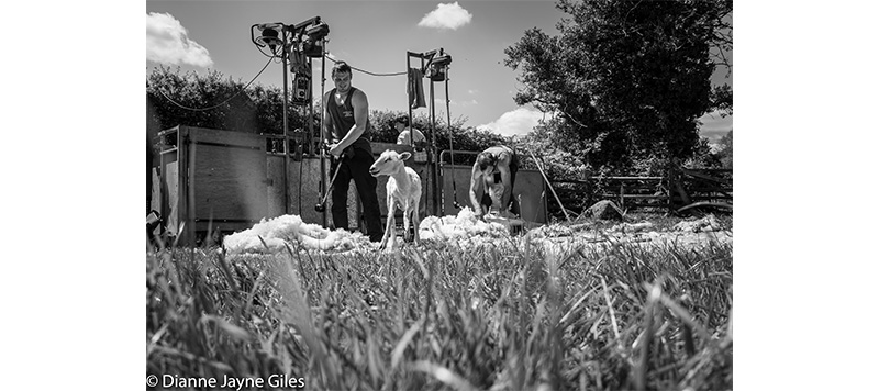 Shearers with sheared sheep surrounded by wool