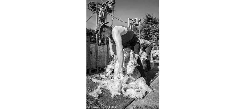 Shearer shearing a sheep