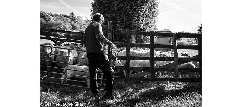 Farmer opening a pen full of sheep