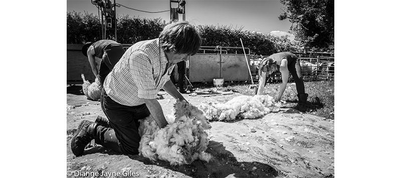 Shearers organising wool